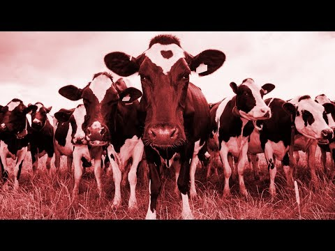 - httpsi - A Herd of Cows React to Doom Metal Riffs